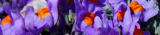 Flore du massif des Écrins